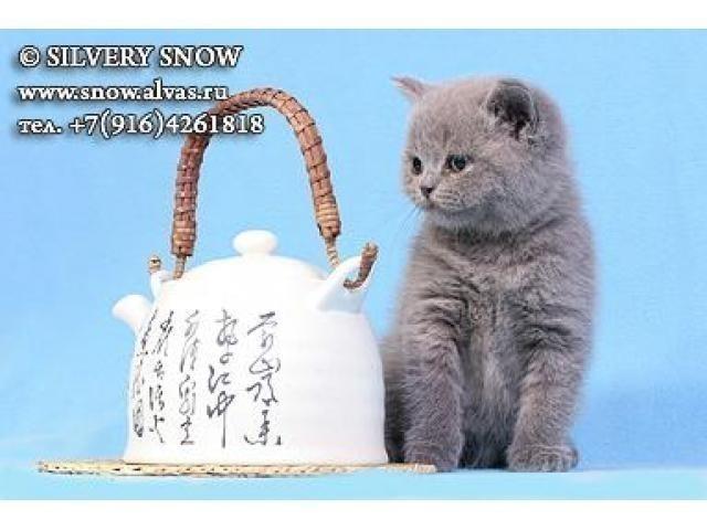 Где купить британского котенка