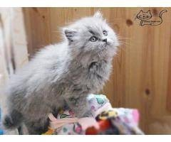 Длинношерстные  британские котята
