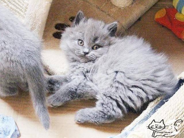 Длинношерстные  британские котята - 3/4