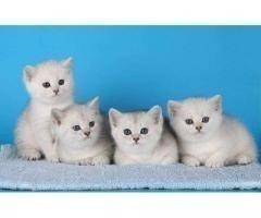 Продажа элитных британских котят в Чехии